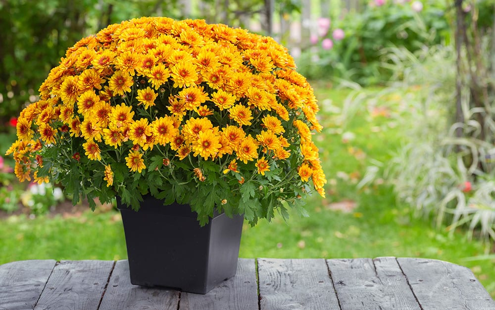 Chrysanthemum-in-a-pot-on-terrace