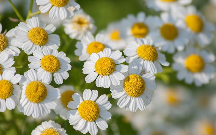 Top 10 self seeding plants for a fuss free cottage garden Where did daisies originate