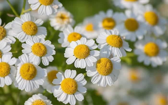 Chrysanthemum-parthenium-feverfew-daisies