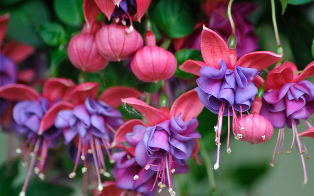 Double-headed-fuchsia