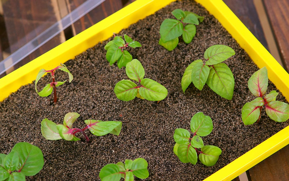 Fuchsia-cuttings-in-compost-tray
