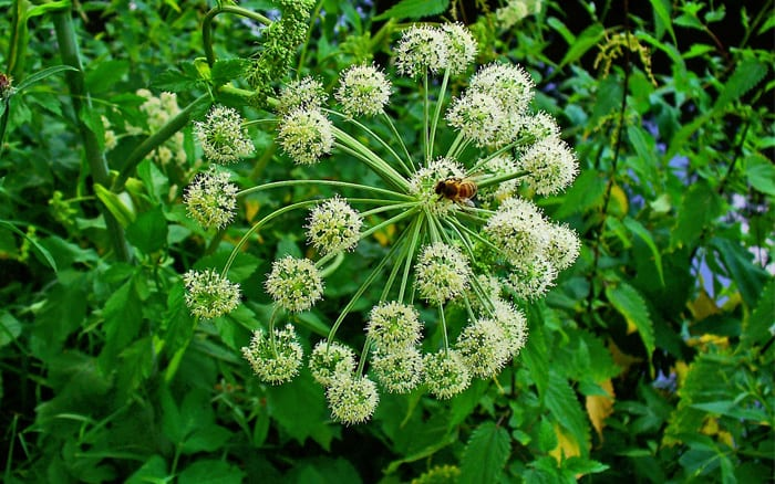 angelica archangelica is great for pollinators and self seeds