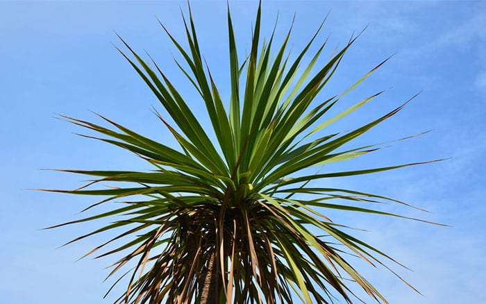 cordyline-australis-tree-top