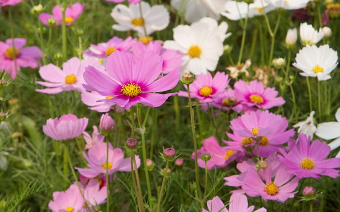 cosmos-flower-field-plants-for-pollinators