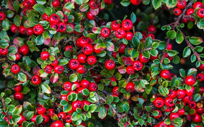 cotoneaster-plants-for-birds-shrubs-berries