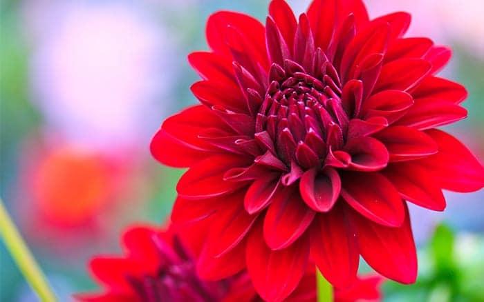 dahlia-red-flowers