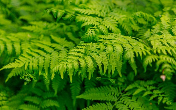 dryopteris-male-fern-tropical-plant