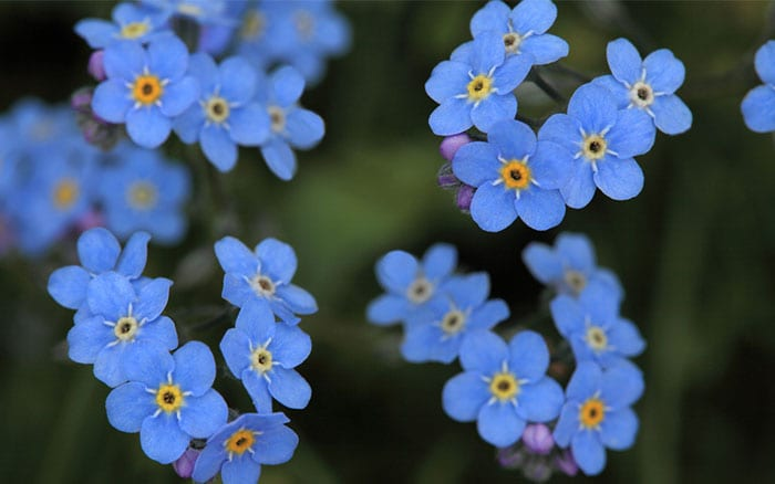 Forget Me Not Flowers A Low Growing Variety With Delicate Blue