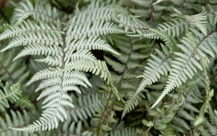 ghost-lady-fern adds a silvery colour to tropical green garden planting