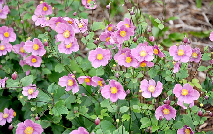 hta plant of the month for september japanese anemone. Black Bedroom Furniture Sets. Home Design Ideas
