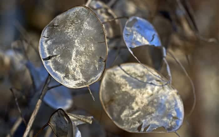 lunaria-annua-honesty-seed-heads