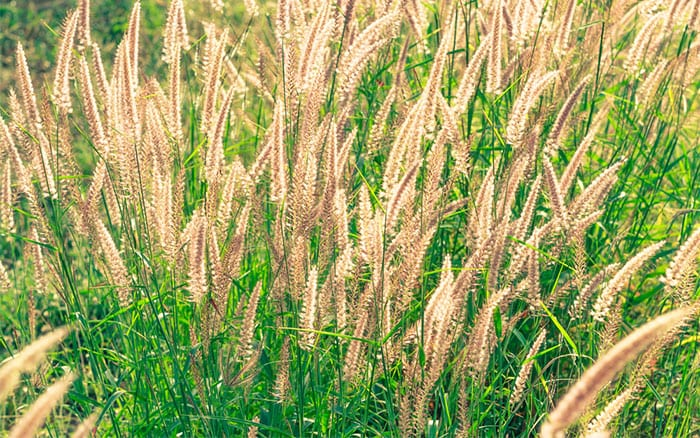 miscanthus-grass-seed-heads