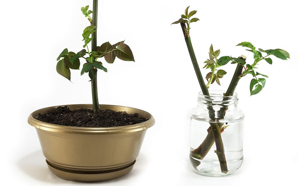 rose-cuttings-in-rooting-hormone-then-pot