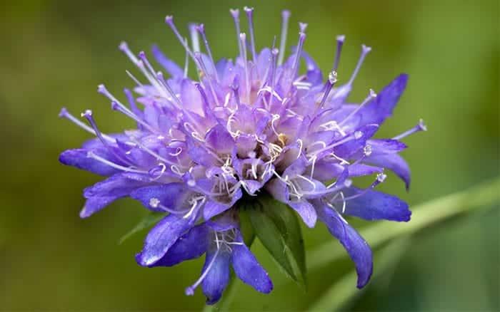 scabious-plants-for-pollinators