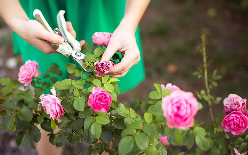 rose-cutting