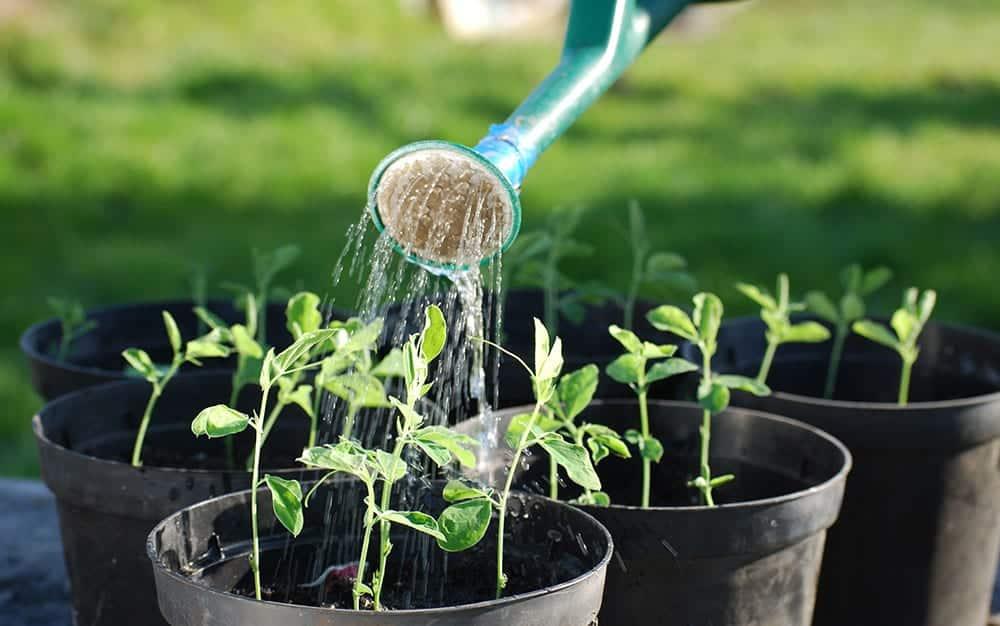 watering-cuttings