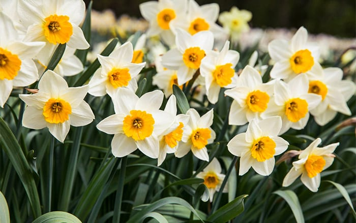 The top 8 spring flowering bulbs to plant in autumn
