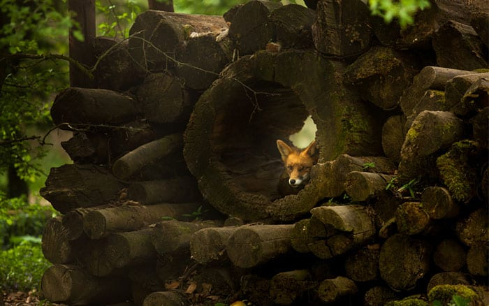 log-pile-woodland-with-fox