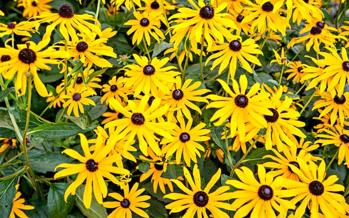rudbeckia-black-eyed-susan-flowers