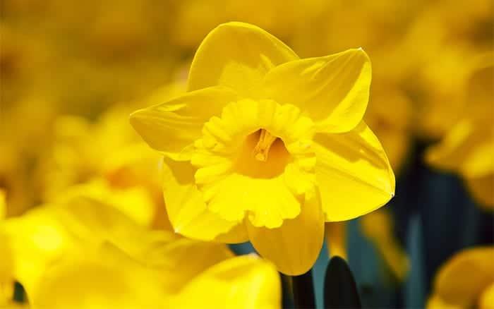 yellow-daffodil bulbs for spring