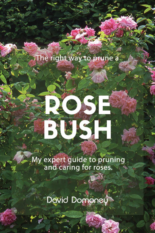 Tips to prune rose bushes