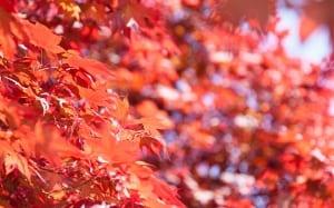 acer japanese maple