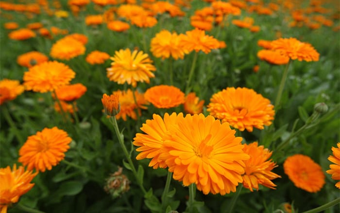 calendula-or english pot marigolds are perfect for a potager garden and protect tomato plants from aphids
