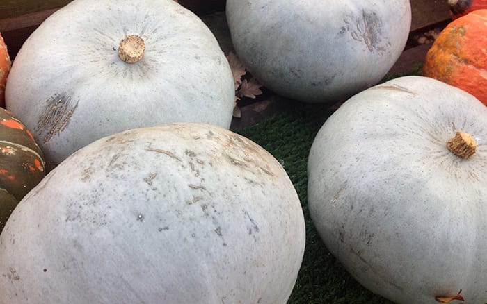 crown-prince blue grey pumpkin