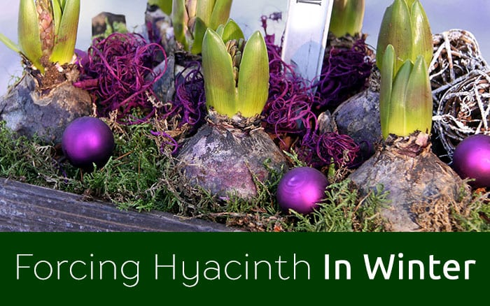 Forcing Hyacinth Bulbs To Flower For Christmas David Domoney