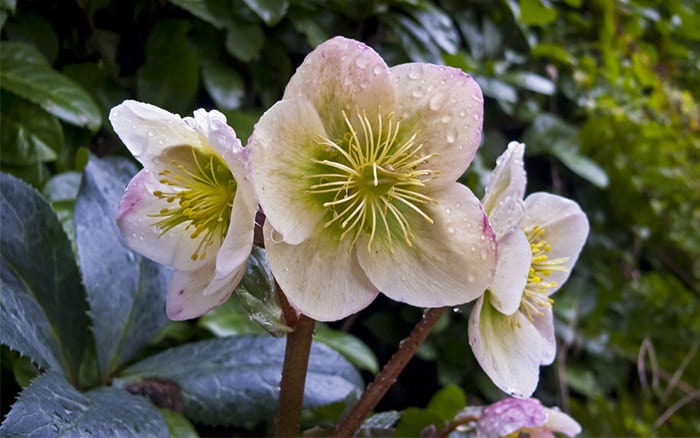hellebore a winter flowering plant that's perfect for winter and spring hanging baskets and containers