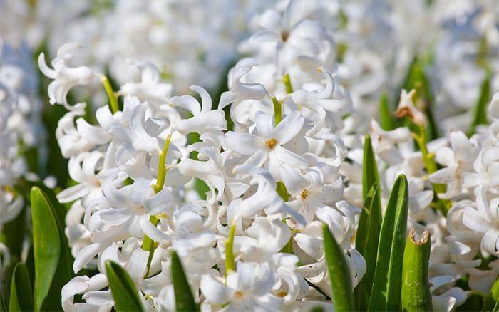 hyacinths bring beautiful colour and fragrance to your home at Christmas, force the bulbs to flower early