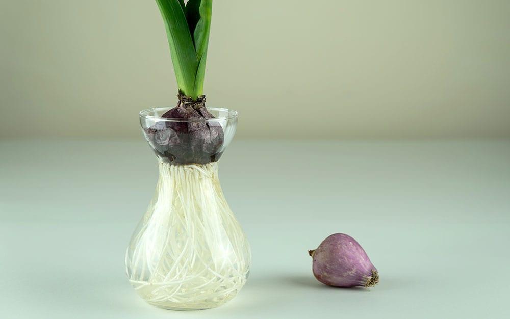 hyacinth water vase