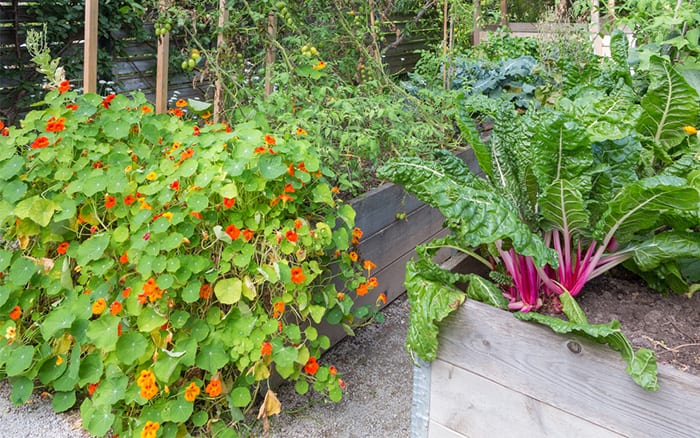 potager garden -raised-beds with colourful veg and flowers