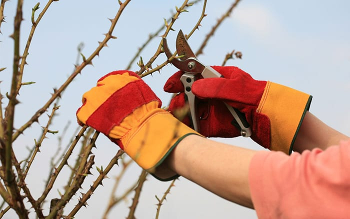 how to prune roses in winter autumn
