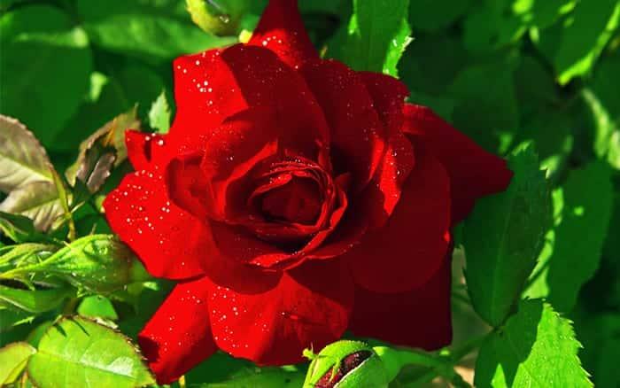red-rose hybrid tea floribunda roses