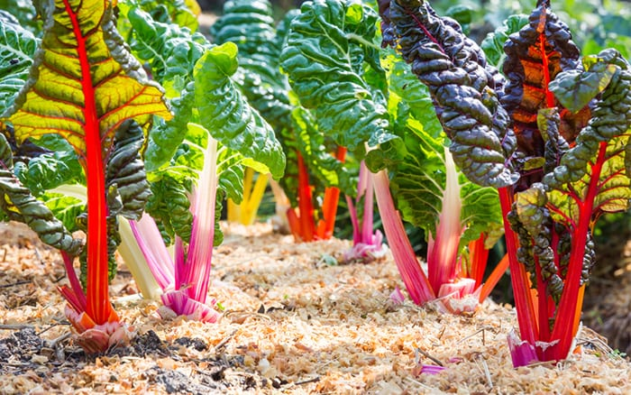 Swiss chard comes in a rainbow of colours, ideal for a potager garden
