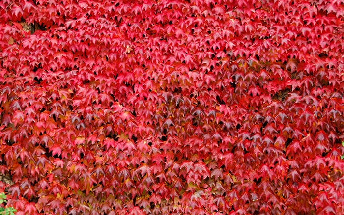 virginia-creeper climbing plants for shade cover a bare wall gardening quick fixes