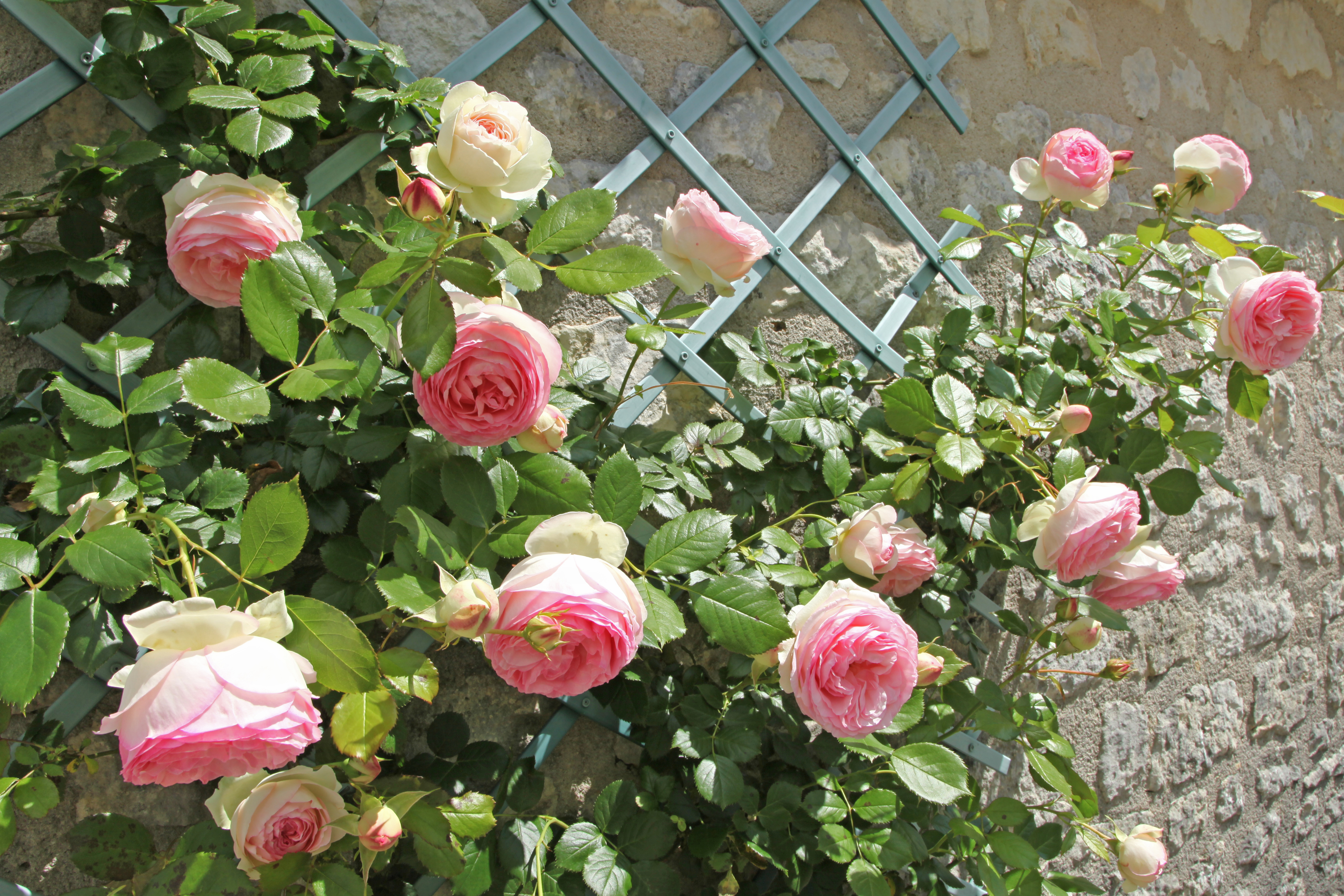 The best climbing plants for shade - David Domoney