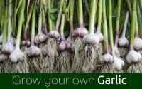 GYO Garlic