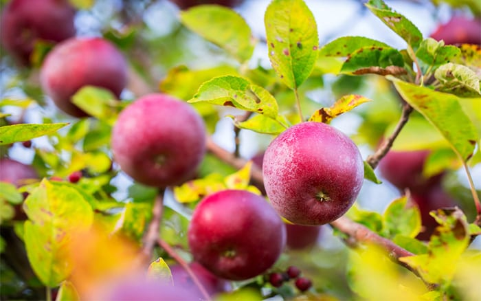 how to plant an apple tree easy fruit trees for beginners