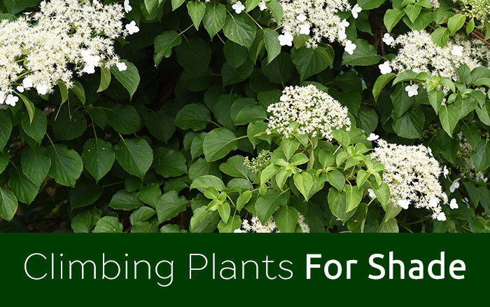 Shade Garden The Best Climbing Plants For Shady Spots David Domoney