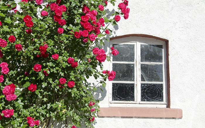 climbing-rose growing by a-window  how to prune climbing plants