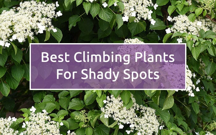 Shade Garden The Best Climbing Plants For Shady Spots