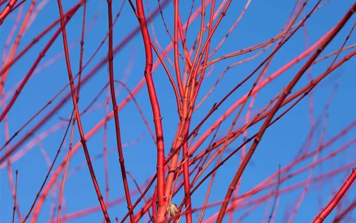 cornus-alba-red dogwood how to create winter garden colour