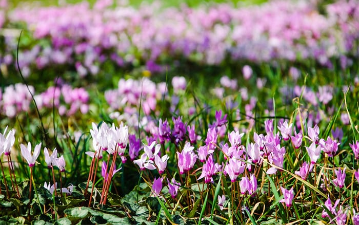 hardy cyclamen great plants for winter colour under trees - they flower in autumn and winter
