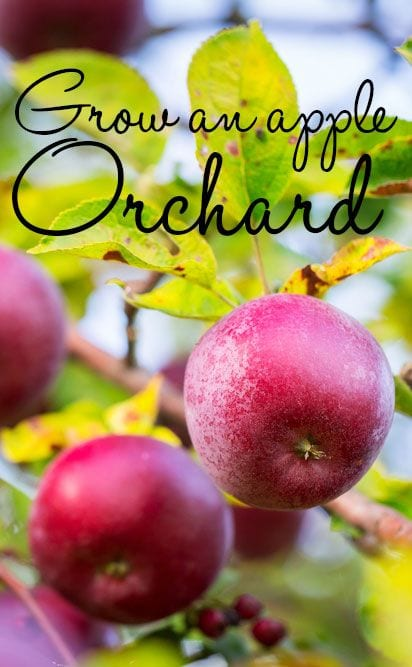 Grow an apple orchard - how to grow apple trees in the garden and create a mini orchard