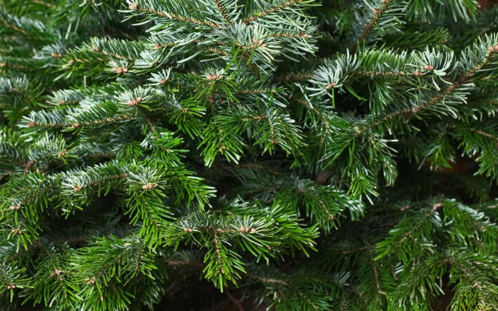 norway spruce how to pick the right real christmas tree