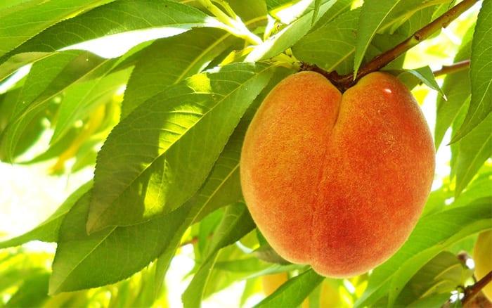 peach-tree how to plant fruit tree