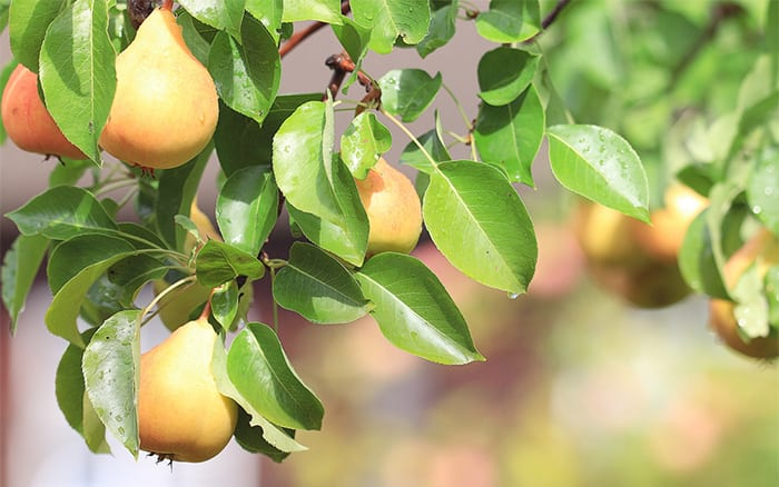 hwo to plant a pear tree planting instructions for fruit trees to create a mini orchard