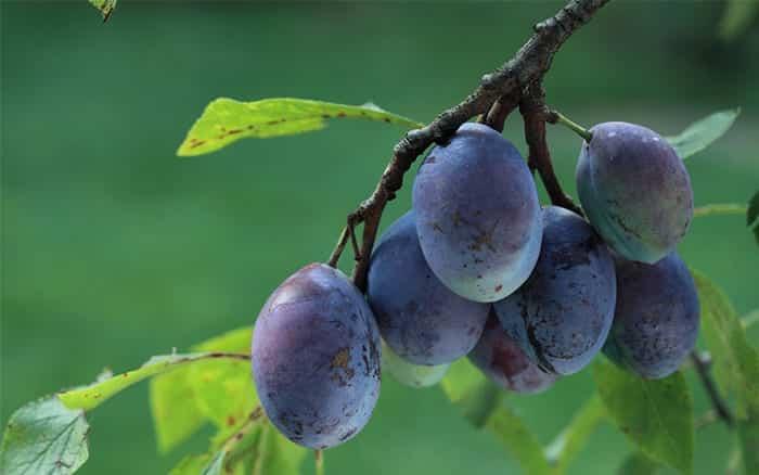 Jardinería de contenedores: 9 Plantas frutales para macetas | HGTV